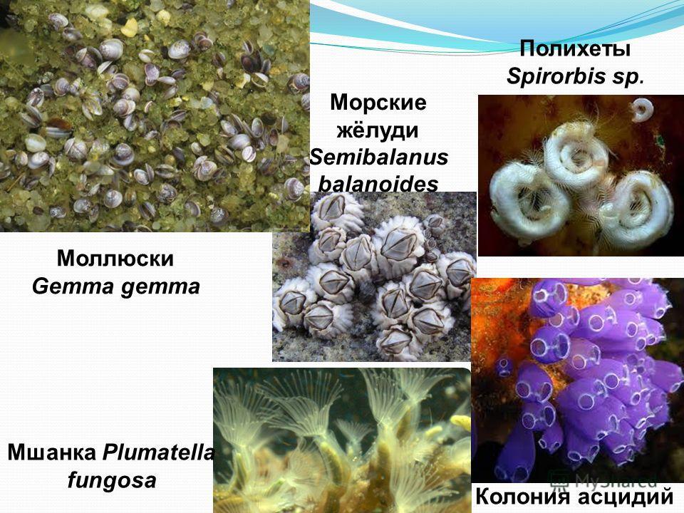 Морские жёлуди Semibalanus balanoides Мшанка Plumatella fungosa Полихеты Spirorbis sp. Колония асцидий Моллюски Gemma gemma