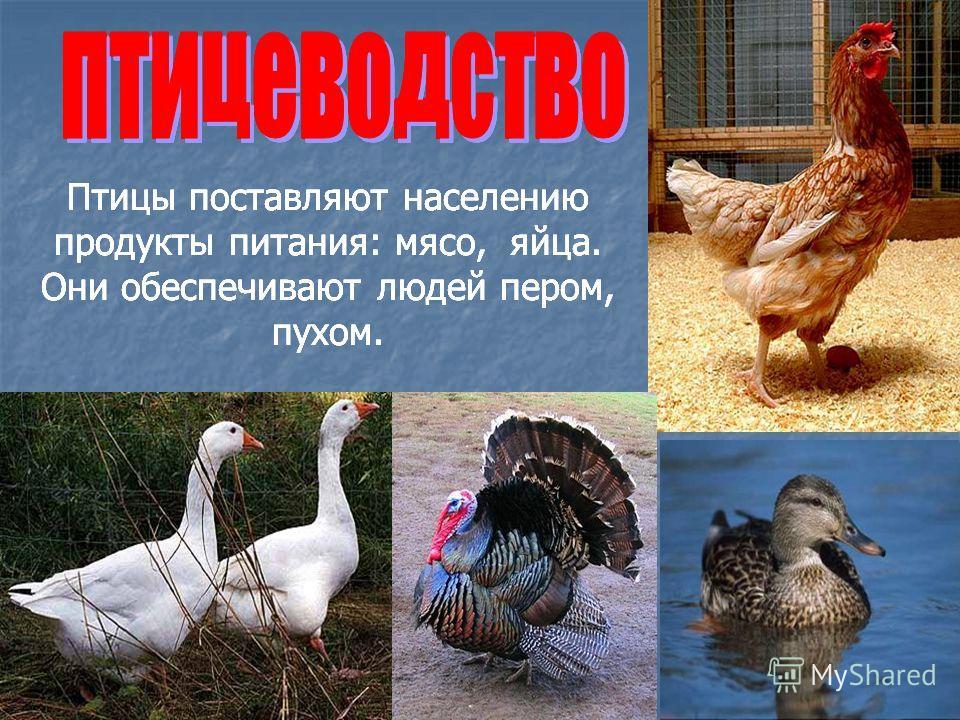 Птицы поставляют населению продукты питания: мясо, яйца. Они обеспечивают людей пером, пухом.