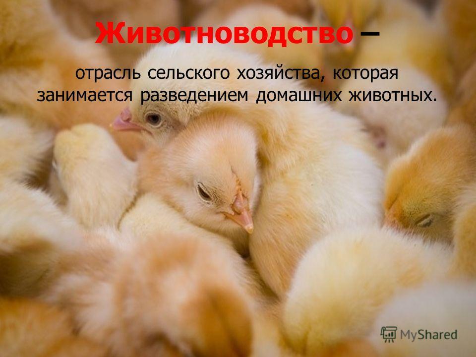 Животноводство – отрасль сельского хозяйства, которая занимается разведением домашних животных. Животноводство – отрасль сельского хозяйства, которая занимается разведением домашних животных.