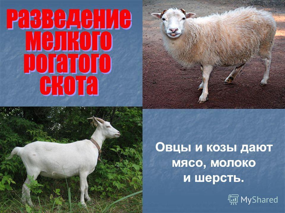 Овцы и козы дают мясо, молоко и шерсть. Овцы и козы дают мясо, молоко и шерсть.