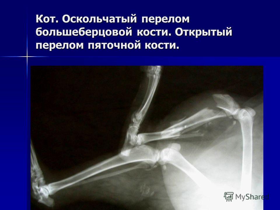 Кот. Оскольчатый перелом большеберцовой кости. Открытый перелом пяточной кости.