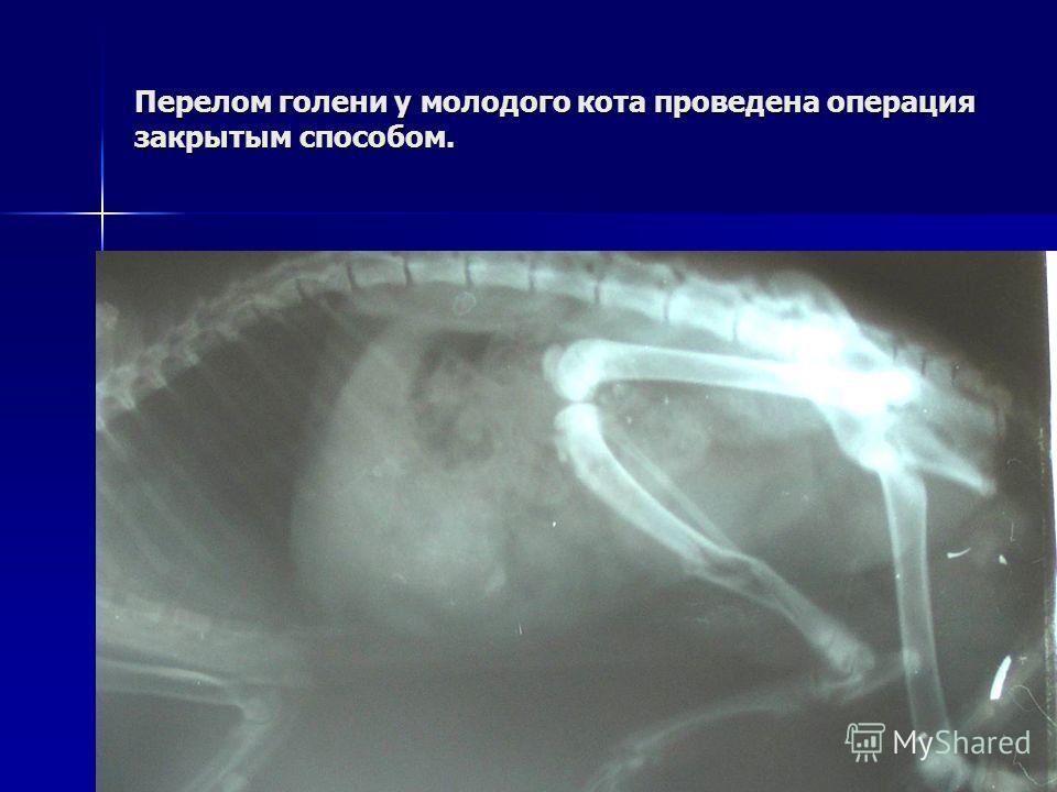 Перелом голени у молодого кота проведена операция закрытым способом.