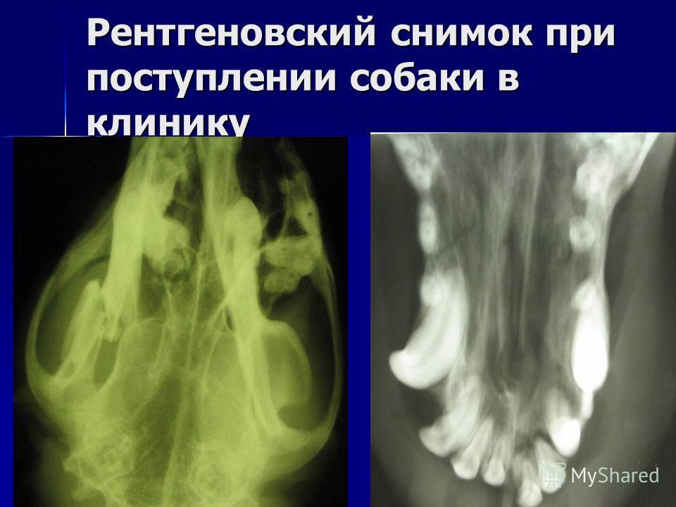 Рентгеновский снимок при поступлении собаки в клинику