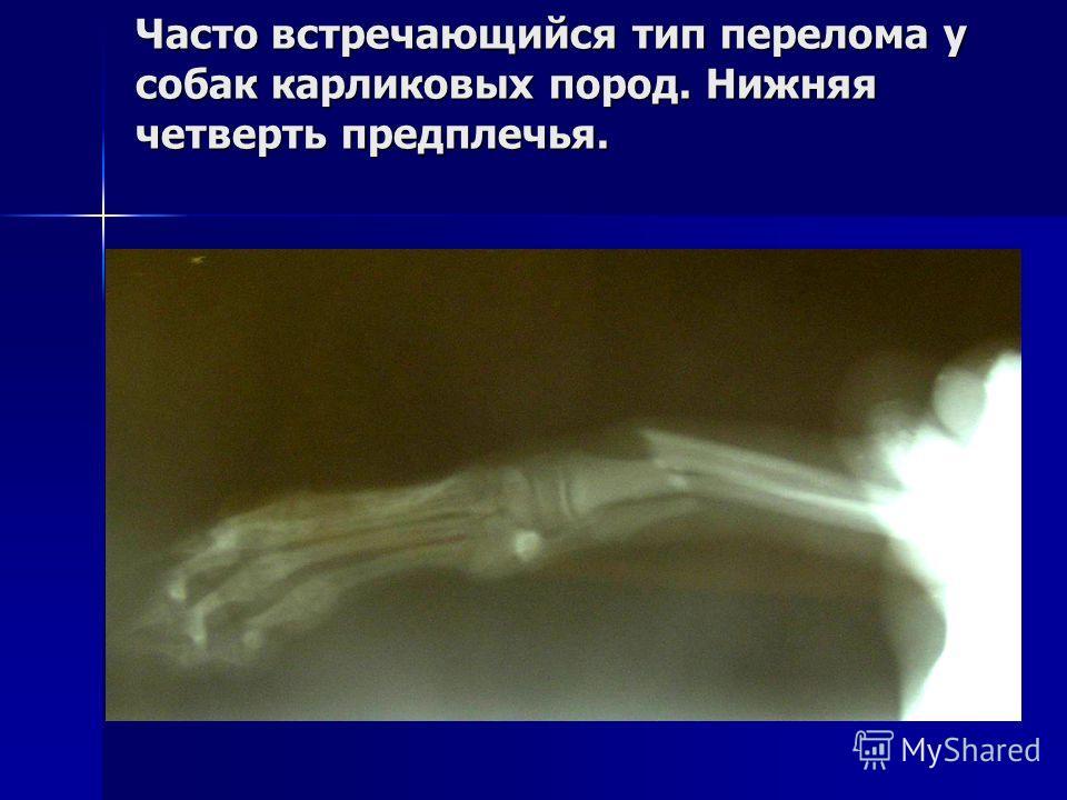 Часто встречающийся тип перелома у собак карликовых пород. Нижняя четверть предплечья.