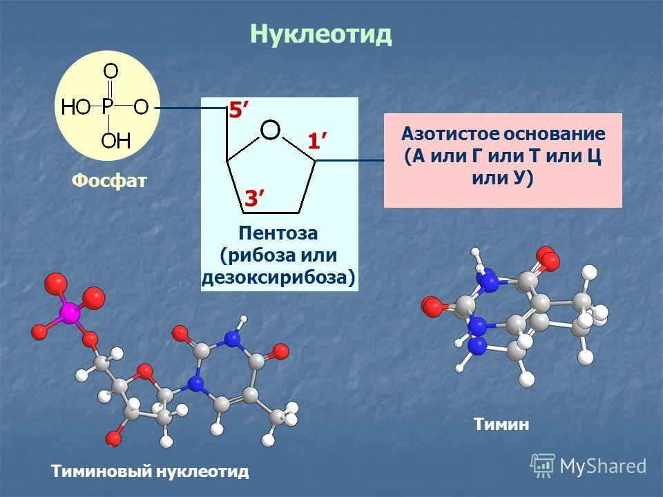 Нуклеотид Азотистое основание (А или Г или Т или Ц или У) Пентоза (рибоза или дезоксирибоза) Фосфат 1 3 5 Тимин Тиминовый нуклеотид
