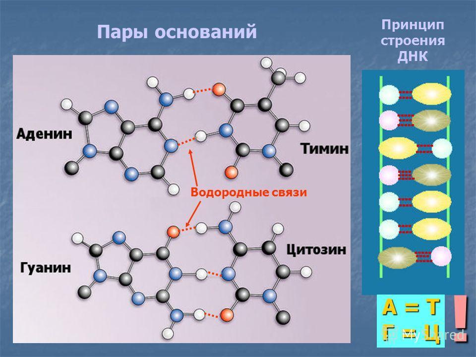 Пары оснований Принцип строения ДНК А = Т Г = Ц ! Водородные связи
