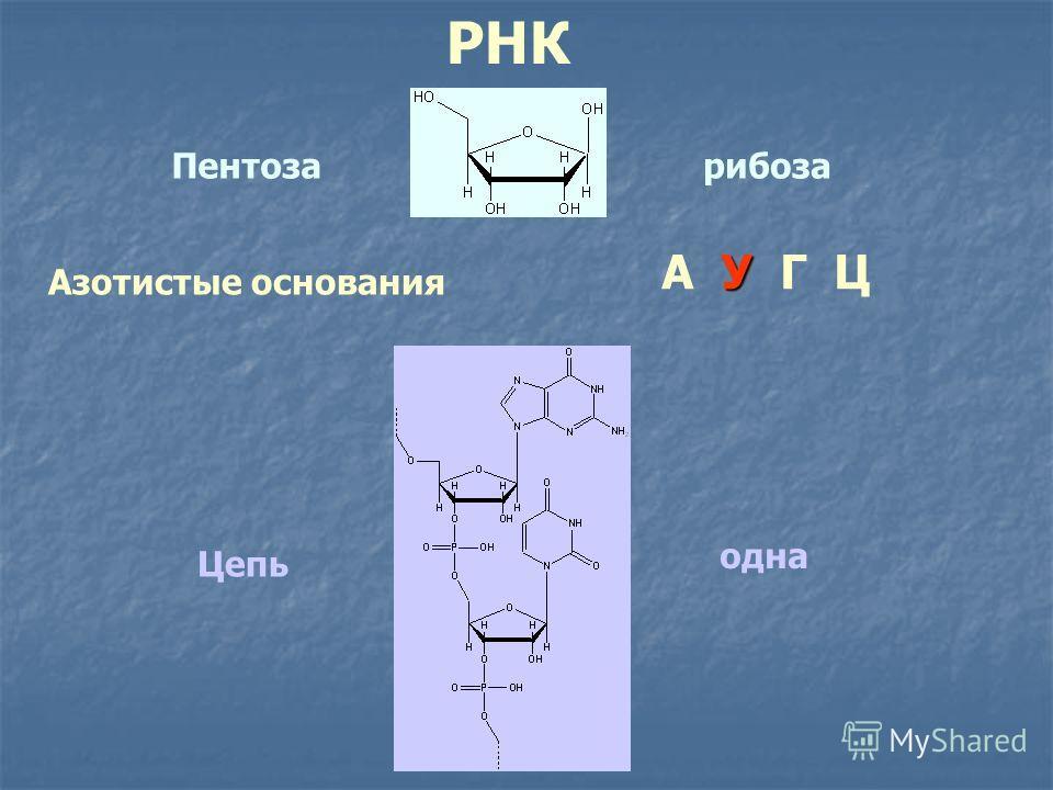 РНК Пентозарибоза Азотистые основания У А У Г Ц Цепь одна