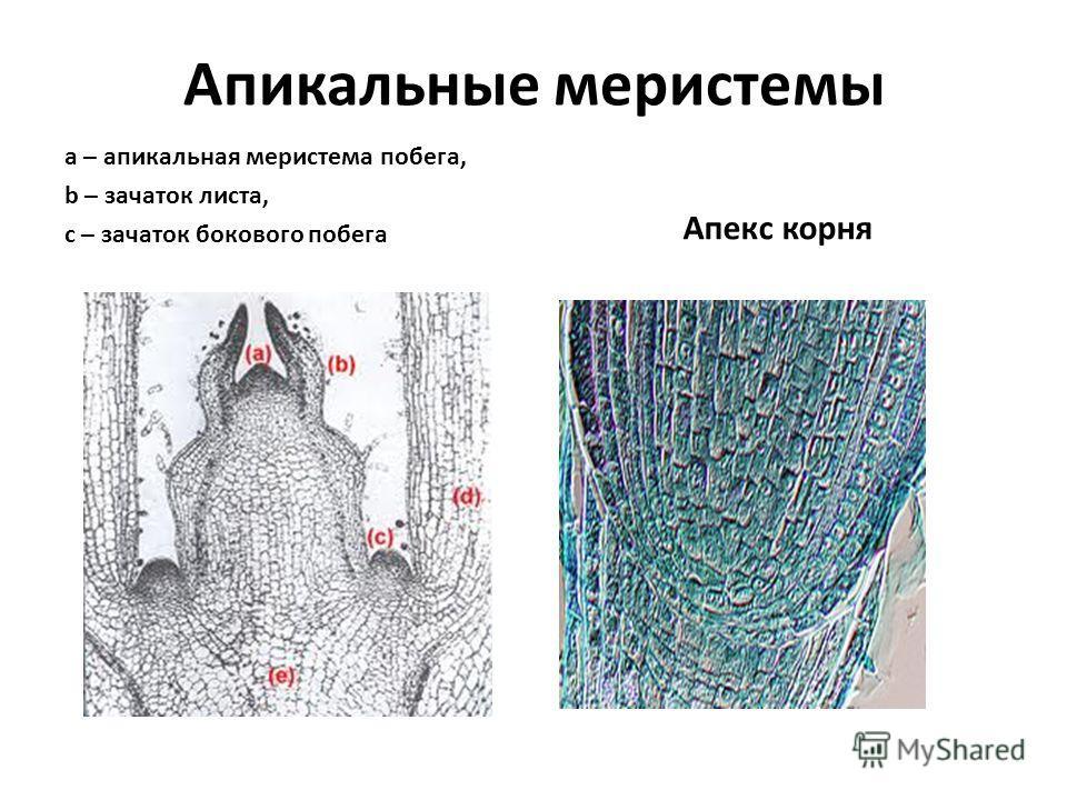 Апикальные меристемы a – апикальная меристема побега, b – зачаток листа, c – зачаток бокового побега Апекс корня