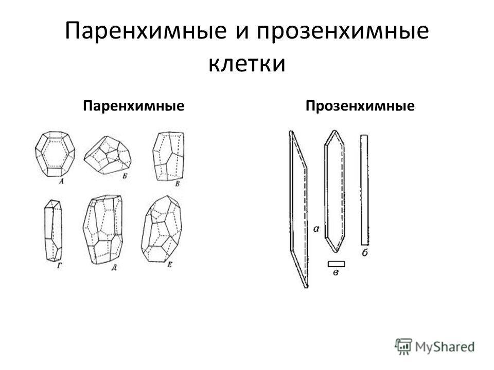 Паренхимные и прозенхимные клетки ПаренхимныеПрозенхимные