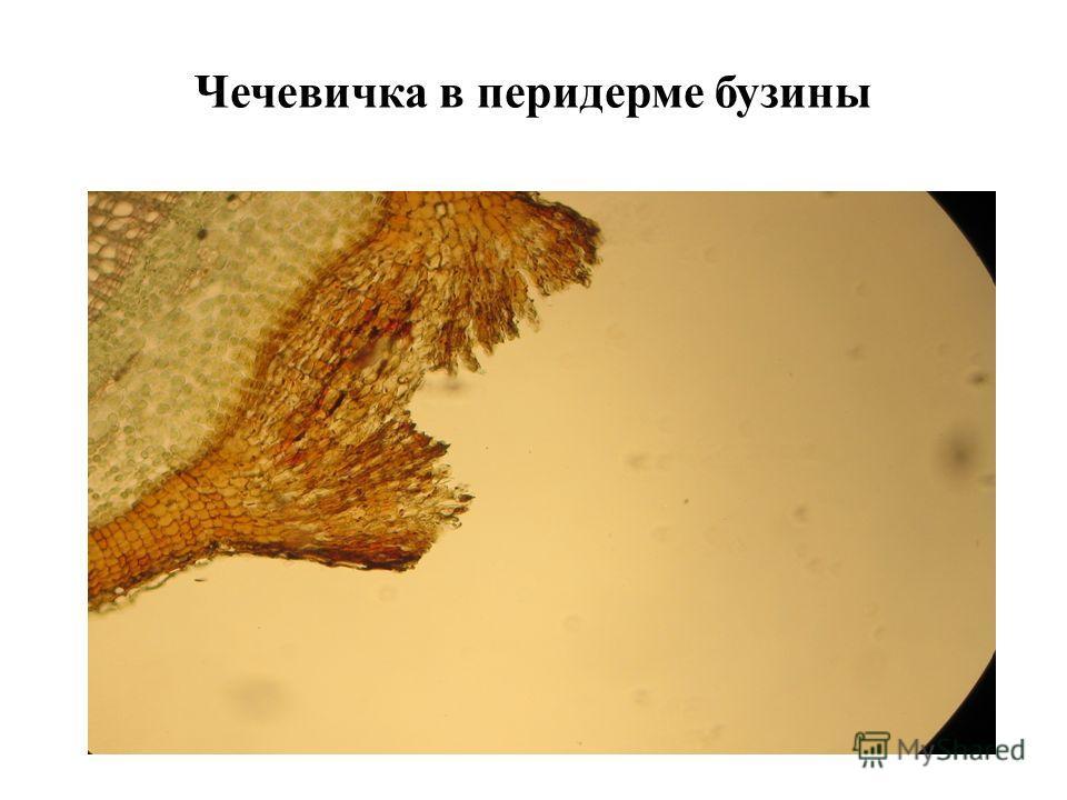 Чечевичка в перидерме бузины