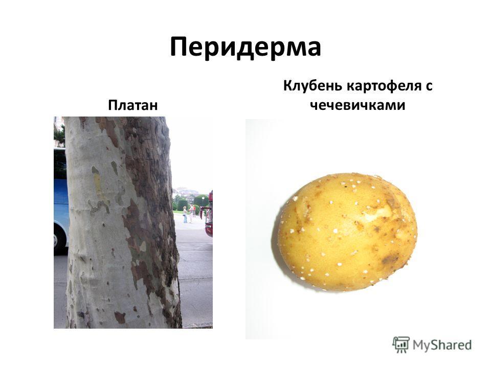 Перидерма Платан Клубень картофеля с чечевичками