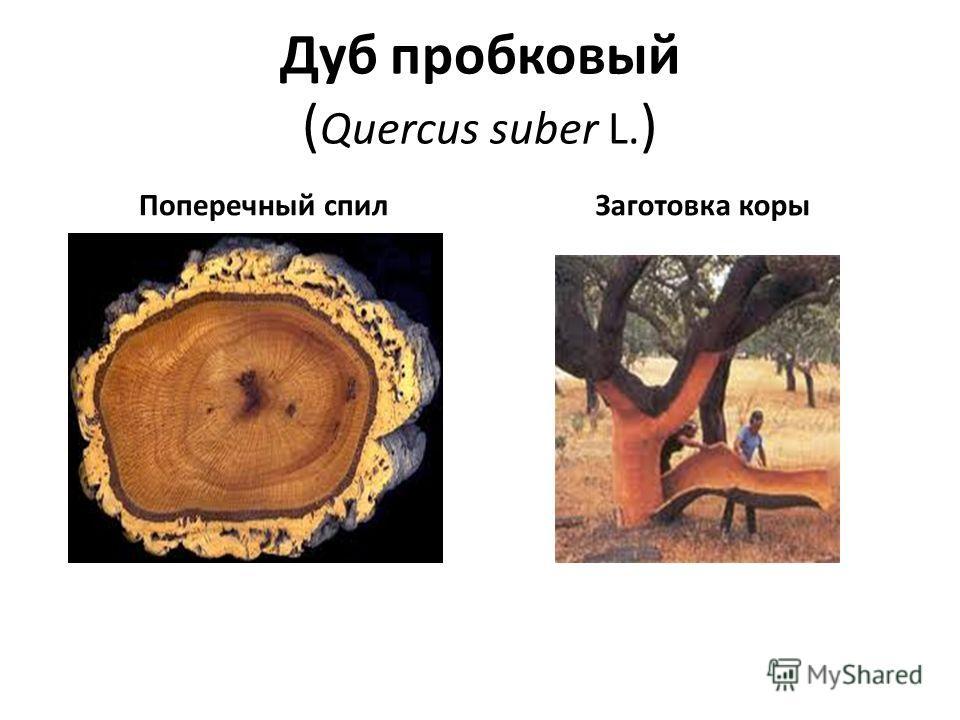 Дуб пробковый ( Quercus suber L. ) Поперечный спил Заготовка коры