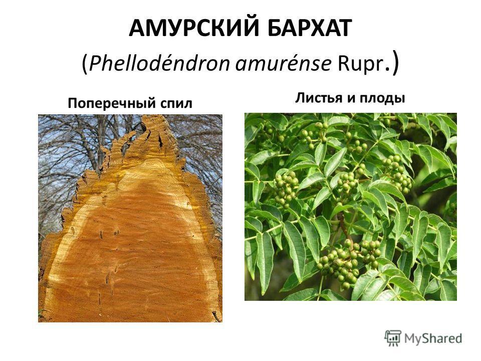 АМУРСКИЙ БАРХАТ (Phellodéndron amurénse Rupr.) Поперечный спил Листья и плоды