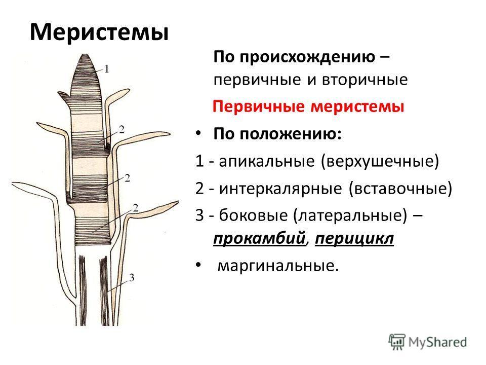 Меристемы По происхождению – первичные и вторичные Первичные меристемы По положению: 1 - апикальные (верхушечные) 2 - интеркалярные (вставочные) 3 - боковые (латеральные) – прокамбий, перицикл маргинальные.
