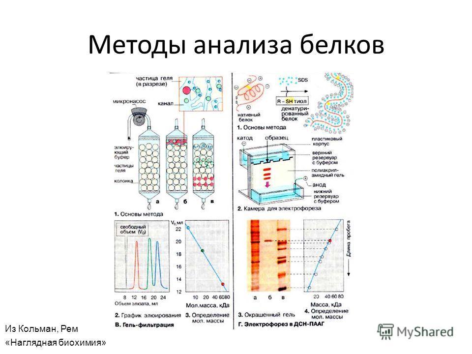 Методы анализа белков Из Кольман, Рем «Наглядная биохимия»
