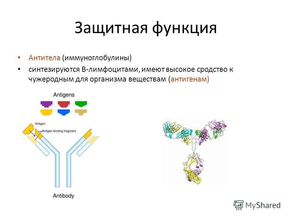 Защитная функция Антитела (иммуноглобулины) синтезируются В-лимфоцитами, имеют высокое сродство к чужеродным для организма веществам (антигенам)