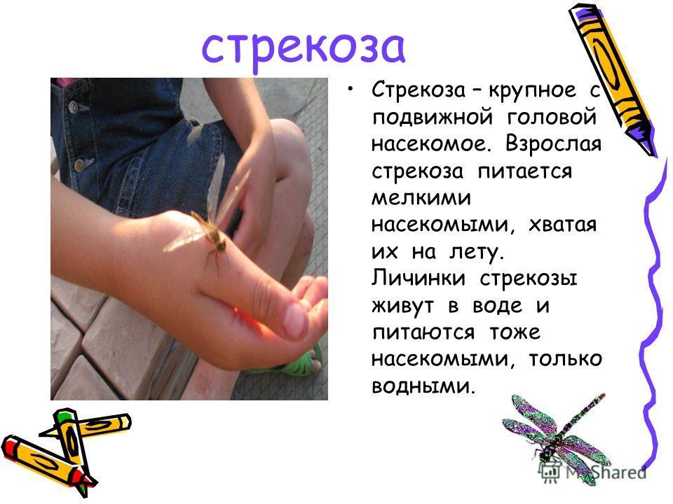 стрекоза Стрекоза – крупное с подвижной головой насекомое. Взрослая стрекоза питается мелкими насекомыми, хватая их на лету. Личинки стрекозы живут в воде и питаются тоже насекомыми, только водными.