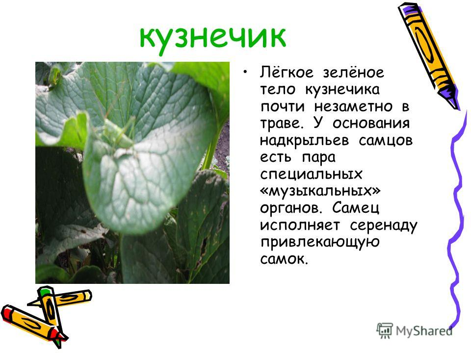 кузнечик Лёгкое зелёное тело кузнечика почти незаметно в траве. У основания надкрыльев самцов есть пара специальных «музыкальных» органов. Самец исполняет серенаду привлекающую самок.