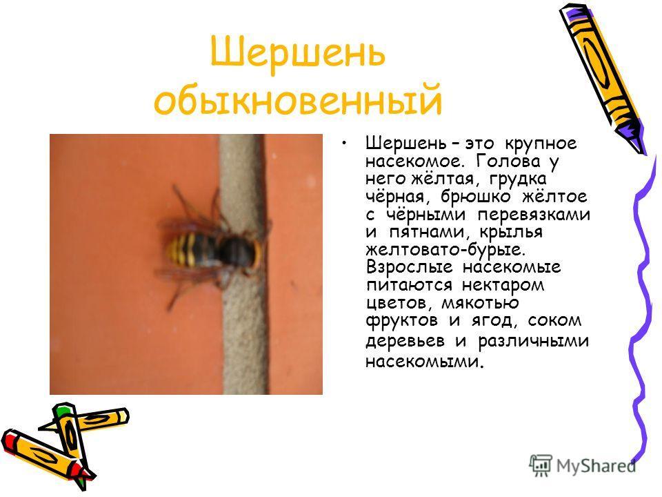 Шершень обыкновенный Шершень – это крупное насекомое. Голова у него жёлтая, грудка чёрная, брюшко жёлтое с чёрными перевязками и пятнами, крылья желтовато-бурые. Взрослые насекомые питаются нектаром цветов, мякотью фруктов и ягод, соком деревьев и ра