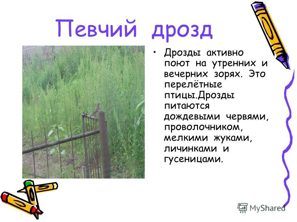Певчий дрозд Дрозды активно поют на утренних и вечерних зорях. Это перелётные птицы.Дрозды питаются дождевыми червями, проволочником, мелкими жуками, личинками и гусеницами.