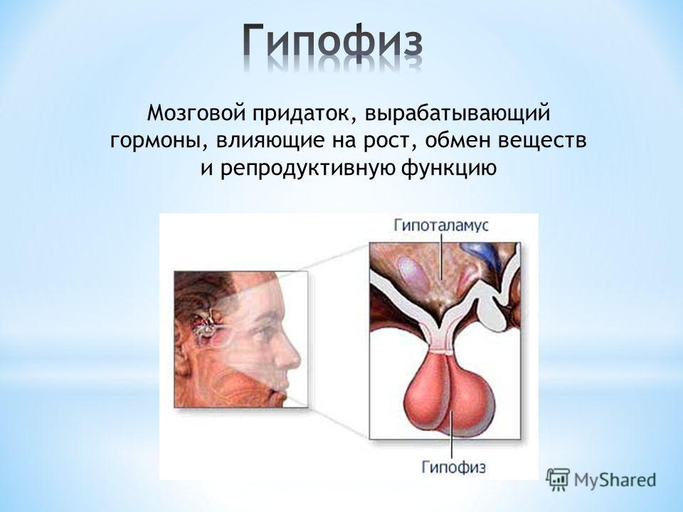 Мозговой придаток, вырабатывающий гормоны, влияющие на рост, обмен веществ и репродуктивную функцию