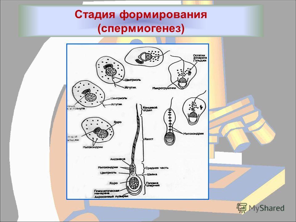 Стадия формирования (спермиогенез)