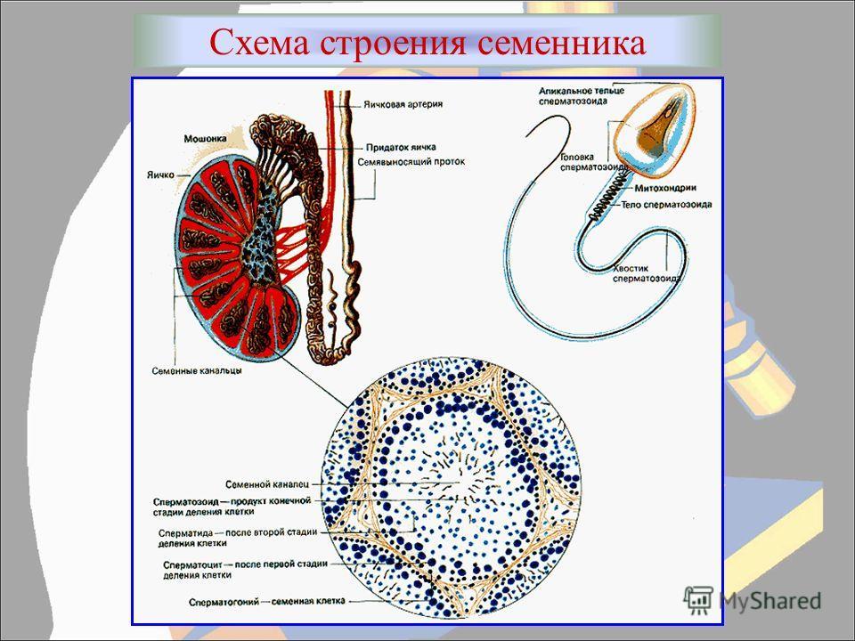 Схема строения семенника