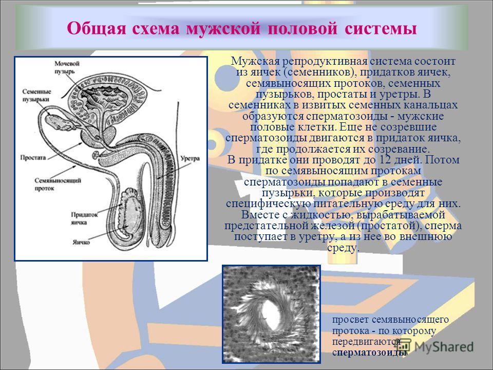 Общая схема мужской половой системы Мужская репродуктивная система состоит из яичек (семенников), придатков яичек, семявыносящих протоков, семенных пузырьков, простаты и уретры. В семенниках в извитых семенных канальцах образуются сперматозоиды - муж
