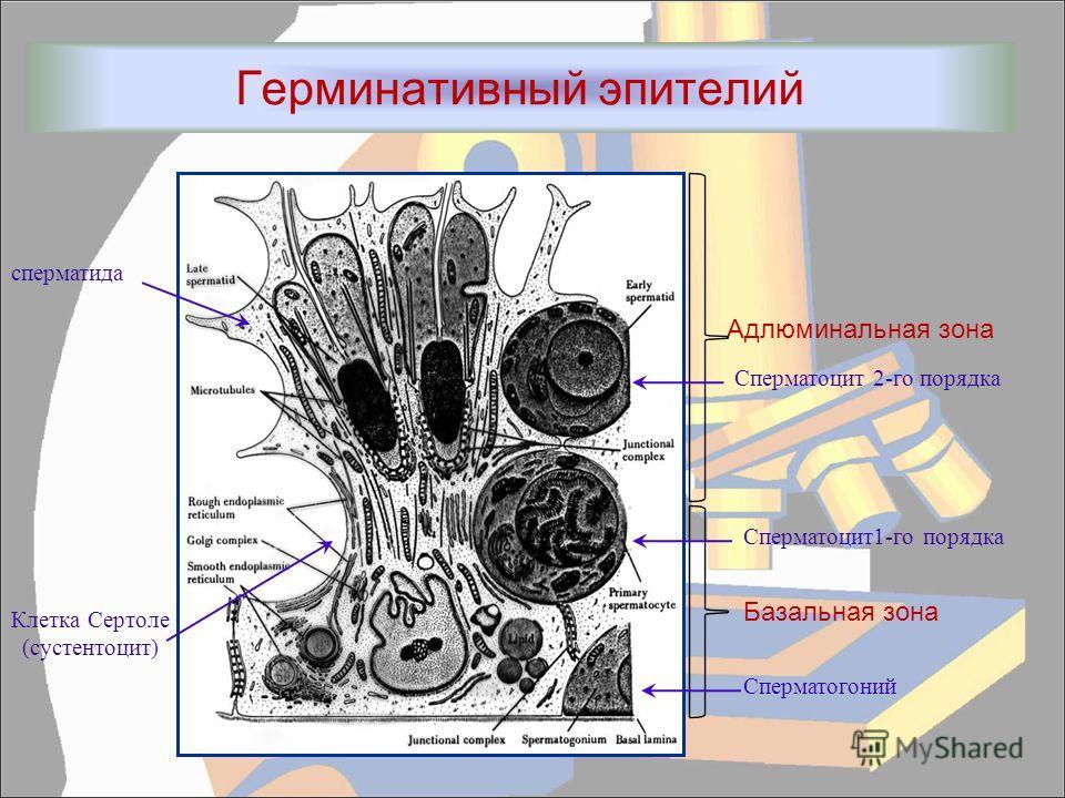 Герминативный эпителий Адлюминальная зона Базальная зона сперматида Клетка Сертоле (сустентоцит) Сперматоцит 2-го порядка Сперматоцит1-го порядка Сперматогоний