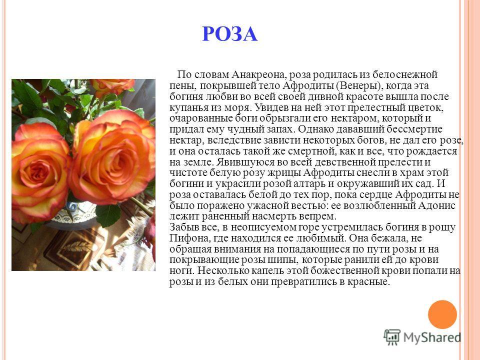 РОЗА По словам Анакреона, роза родилась из белоснежной пены, покрывшей тело Афродиты (Венеры), когда эта богиня любви во всей своей дивной красоте вышла после купанья из моря. Увидев на ней этот прелестный цветок, очарованные боги обрызгали его некта