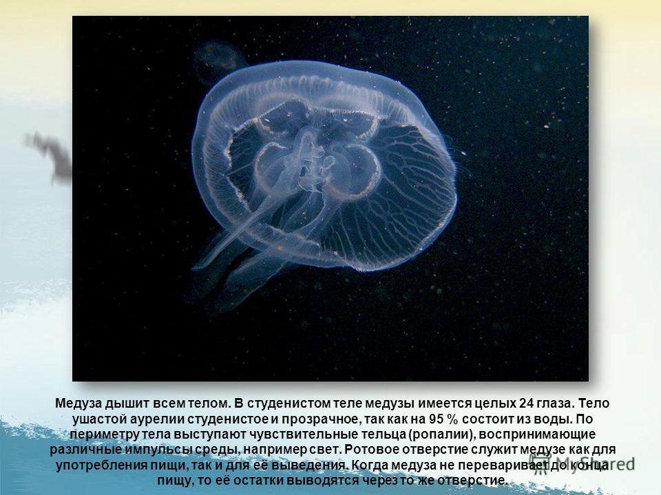 Строение медузы на примере Ушастой аурелии.