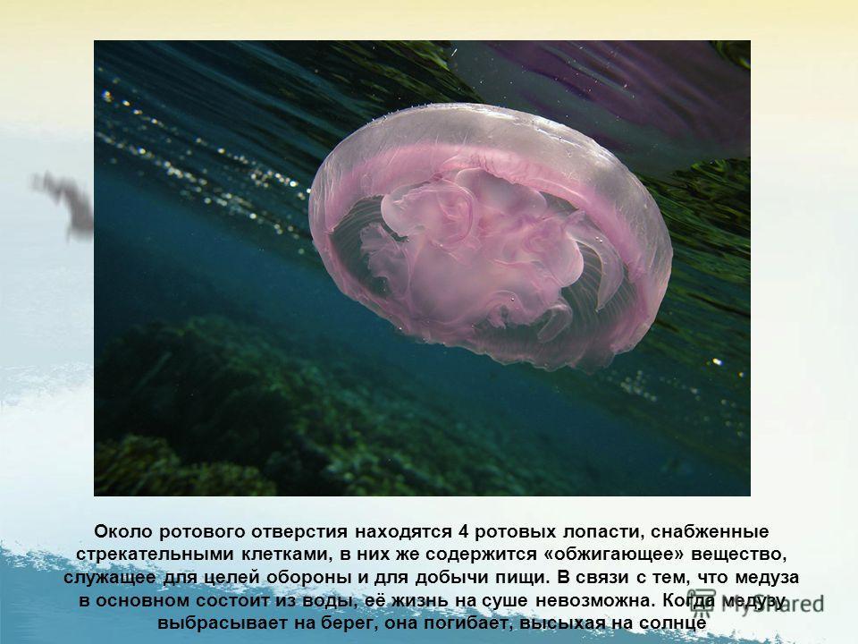 Медуза дышит всем телом. В студенистом теле медузы имеется целых 24 глаза. Тело ушастой аурелии студенистое и прозрачное, так как на 95 % состоит из воды. По периметру тела выступают чувствительные тельца (ропалии), воспринимающие различные импульсы