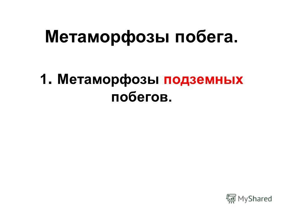 Метаморфозы побега. 1. Метаморфозы подземных побегов.