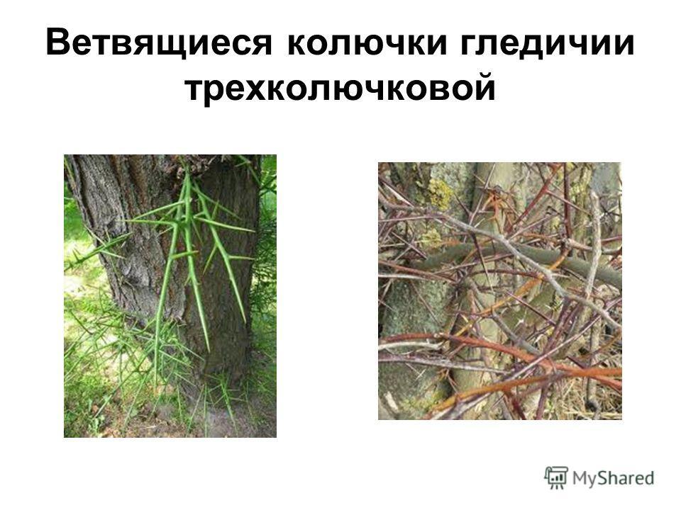 Ветвящиеся колючки гледичии трехколючковой