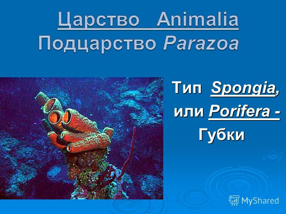 Тип Spongia, Тип Spongia, или Porifera - Губки