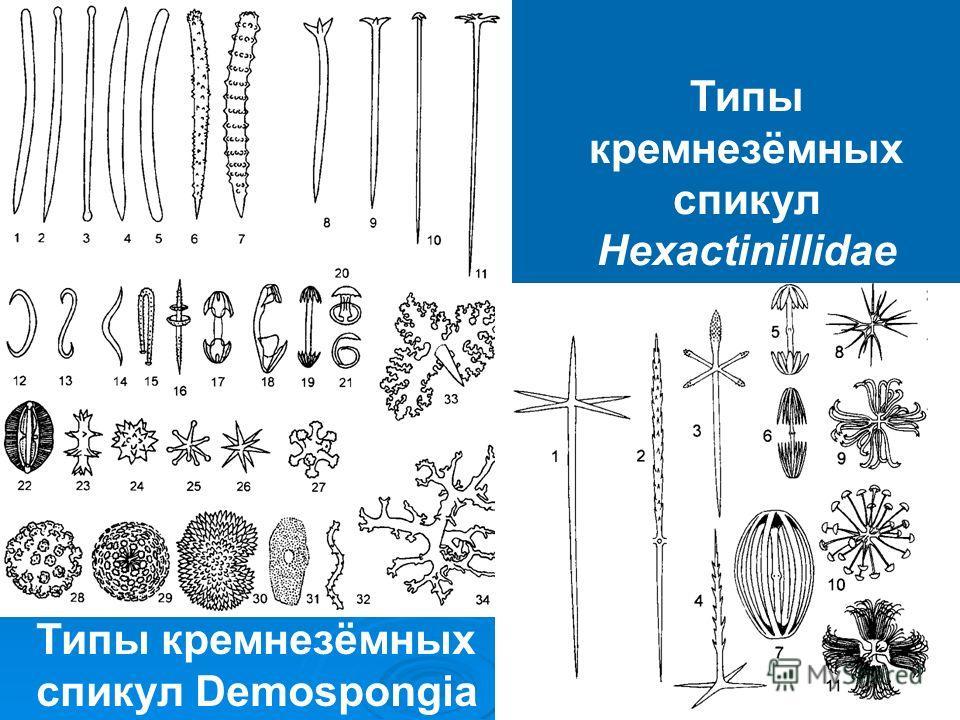 Типы кремнезёмных спикул Demospongia Типы кремнезёмных спикул Hexactinillidae