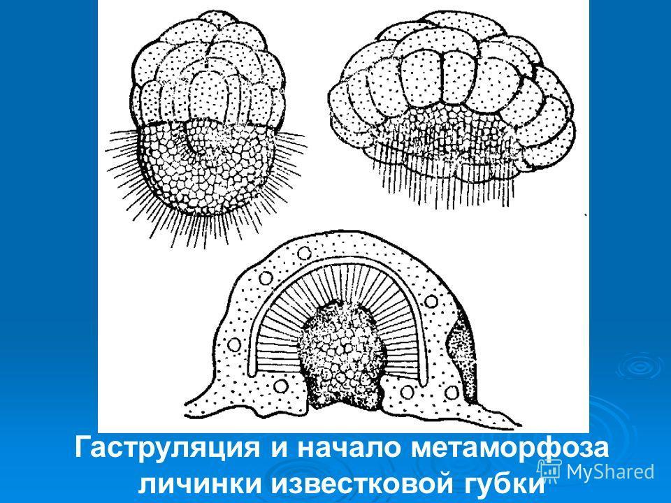 Гаструляция и начало метаморфоза личинки известковой губки
