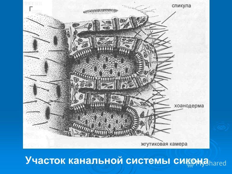 Участок канальной системы сикона