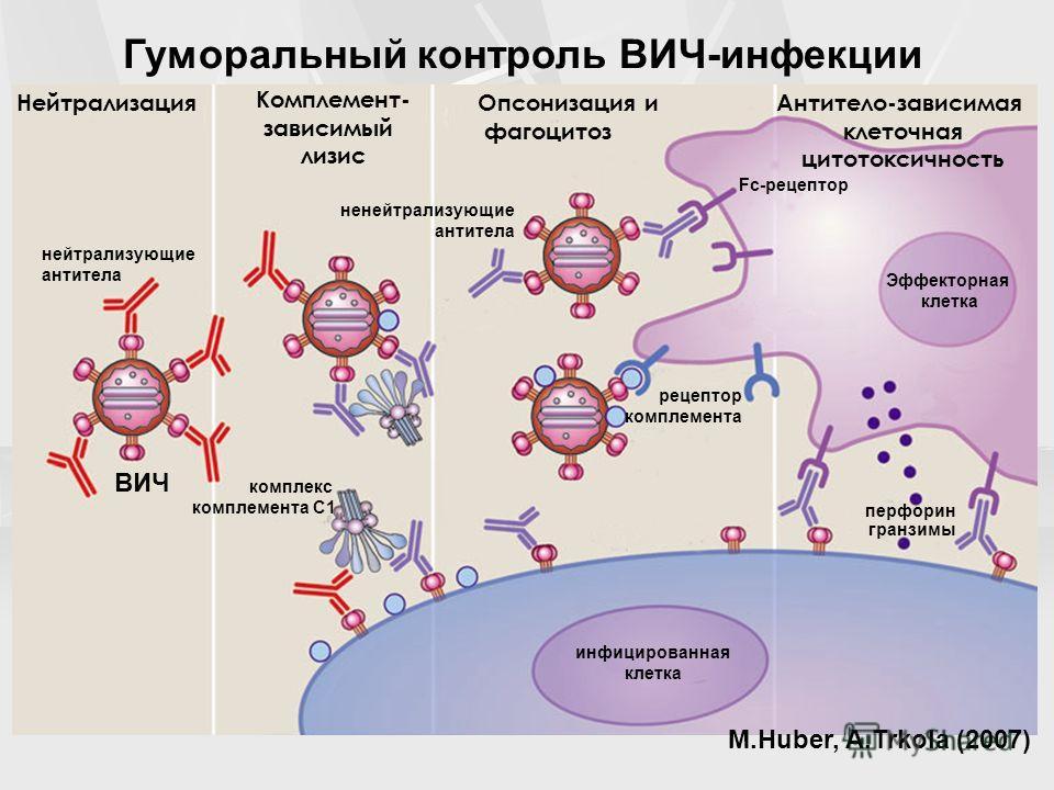 Гуморальный контроль ВИЧ-инфекции Нейтрализация Комплемент- зависимый лизис Опсонизация и фагоцитоз Антитело-зависимая клеточная цитотоксичность нейтрализующие антитела ненейтрализующие антитела Fc-рецептор Эффекторная клетка перфорин гранзимы рецепт