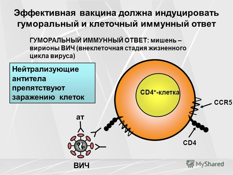 ГУМОРАЛЬНЫЙ ИММУННЫЙ ОТВЕТ: мишень – вирионы ВИЧ (внеклеточная стадия жизненного цикла вируса) CD4 CCR5 aтaтaтaт ВИЧ CD4 + -клетка Нейтрализующие антитела препятствуют заражению клеток Эффективная вакцина должна индуцировать гуморальный и клеточный и