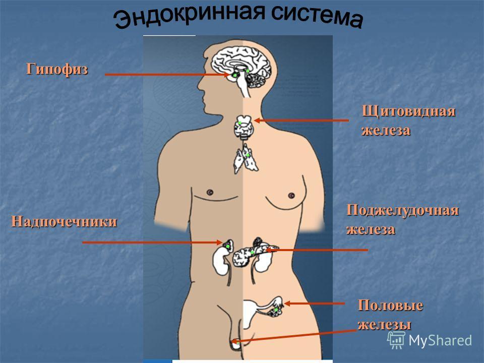 Гипофиз Щитовидная железа Поджелудочная железа Надпочечники Половые железы