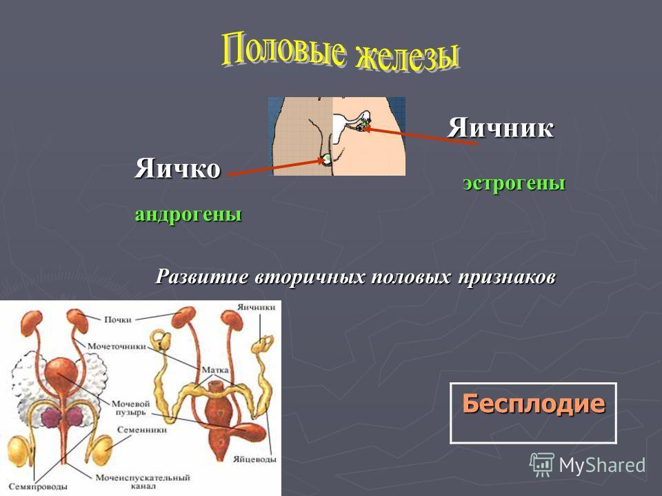 Яичник Яичко эстрогены андрогены Развитие вторичных половых признаков Бесплодие