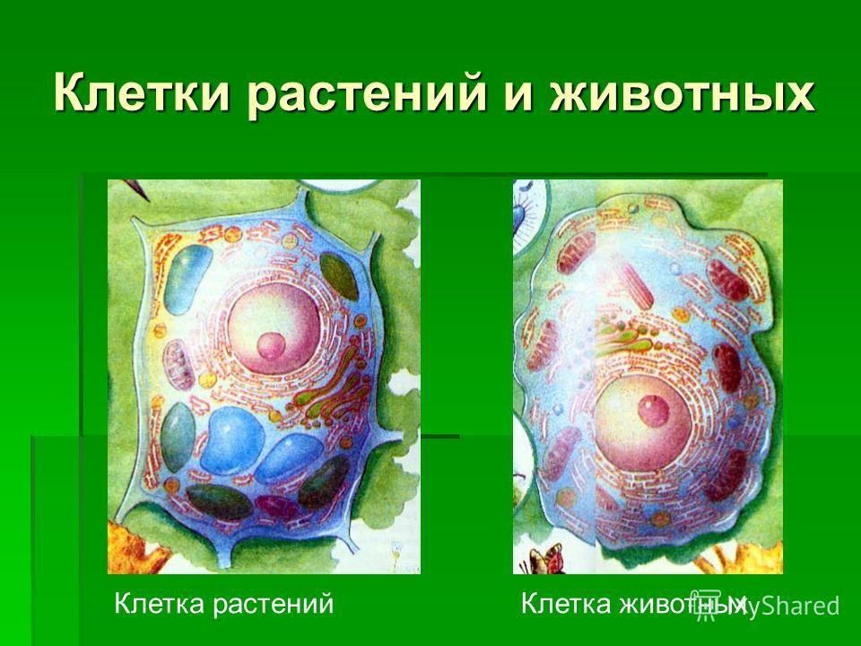 Клетки растений и животных Клетка растенийКлетка животных