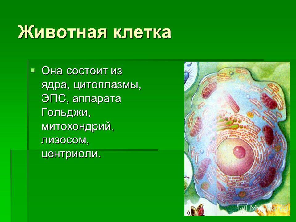 Животная клетка Она состоит из ядра, цитоплазмы, ЭПС, аппарата Гольджи, митохондрий, лизосом, центриоли.