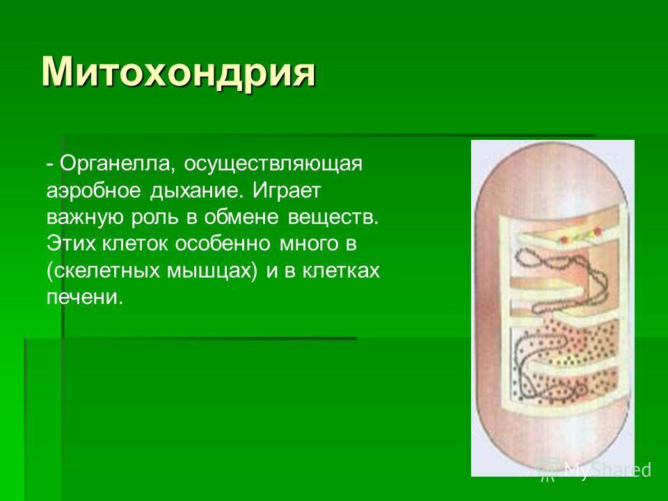 Митохондрия - Органелла, осуществляющая аэробное дыхание. Играет важную роль в обмене веществ. Этих клеток особенно много в (скелетных мышцах) и в клетках печени.