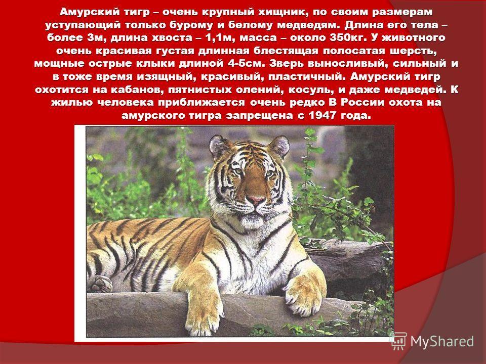 Амурский тигр – очень крупный хищник, по своим размерам уступающий только бурому и белому медведям. Длина его тела – более 3м, длина хвоста – 1,1м, масса – около 350кг. У животного очень красивая густая длинная блестящая полосатая шерсть, мощные остр