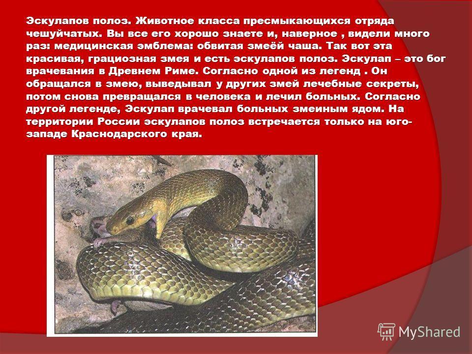 Эскулапов полоз. Животное класса пресмыкающихся отряда чешуйчатых. Вы все его хорошо знаете и, наверное, видели много раз: медицинская эмблема: обвитая змеёй чаша. Так вот эта красивая, грациозная змея и есть эскулапов полоз. Эскулап – это бог врачев