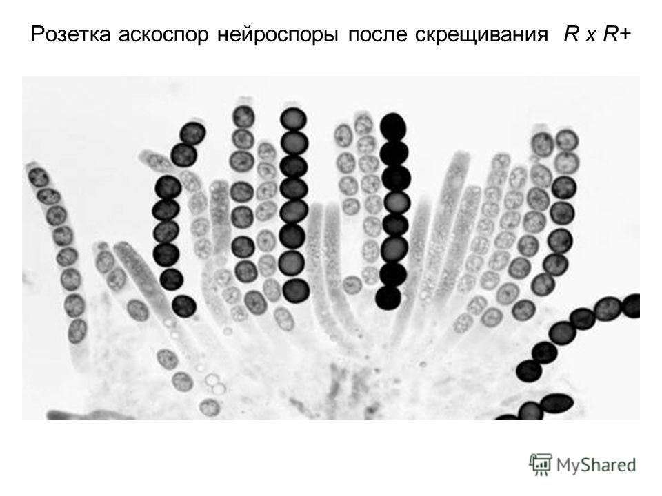 Розетка аскоспор нейроспоры после скрещивания R x R+