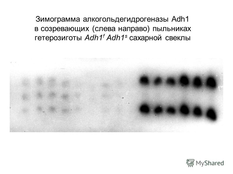 Зимограмма алкогольдегидрогеназы Adh1 в созревающих (слева направо) пыльниках гетерозиготы Adh1 f Adh1 s сахарной свеклы