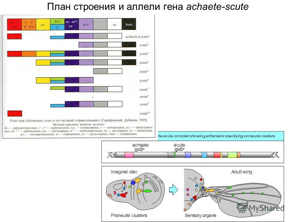 План строения и аллели гена achaete-scute
